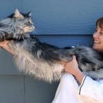 Les chats les plus longs, gros, petits...